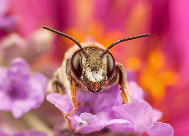 Mâle les Andrena abeille posée sur une fleur - Photo