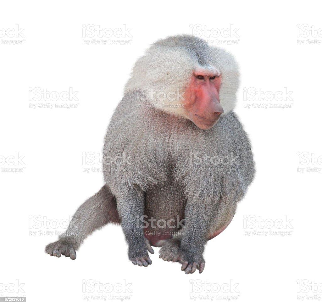 Male monkey hamadryad. Isolated on white background stock photo