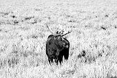 Male Moose (Adult stag) grazing in the Grand Teton National Park in the U.S. state of Wyoming
