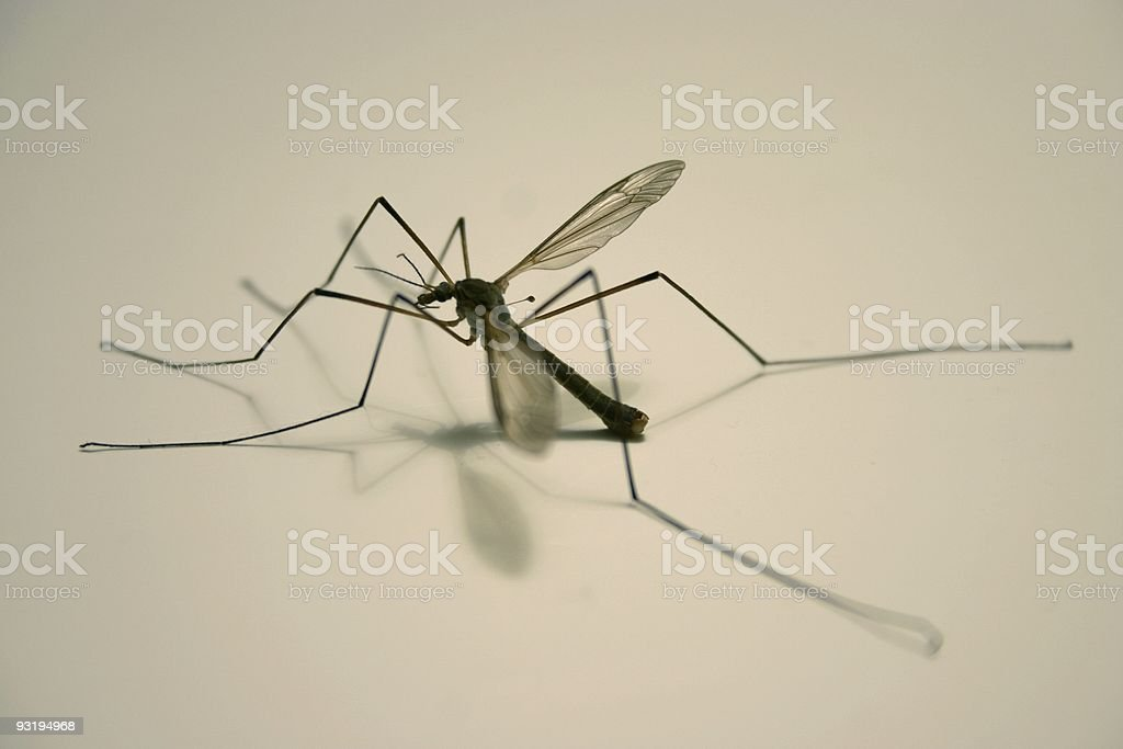male mosquito? royalty-free stock photo