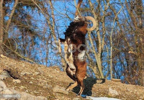 Male mouflon (ovis orientalis orientalis) standing on two legs.
