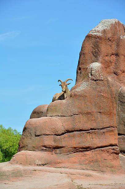 Männliche Mouflon (Ziege – Foto