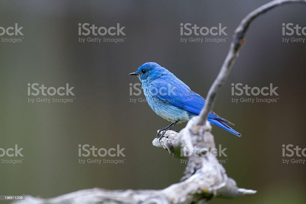 Male Mountain Bluebird. stock photo