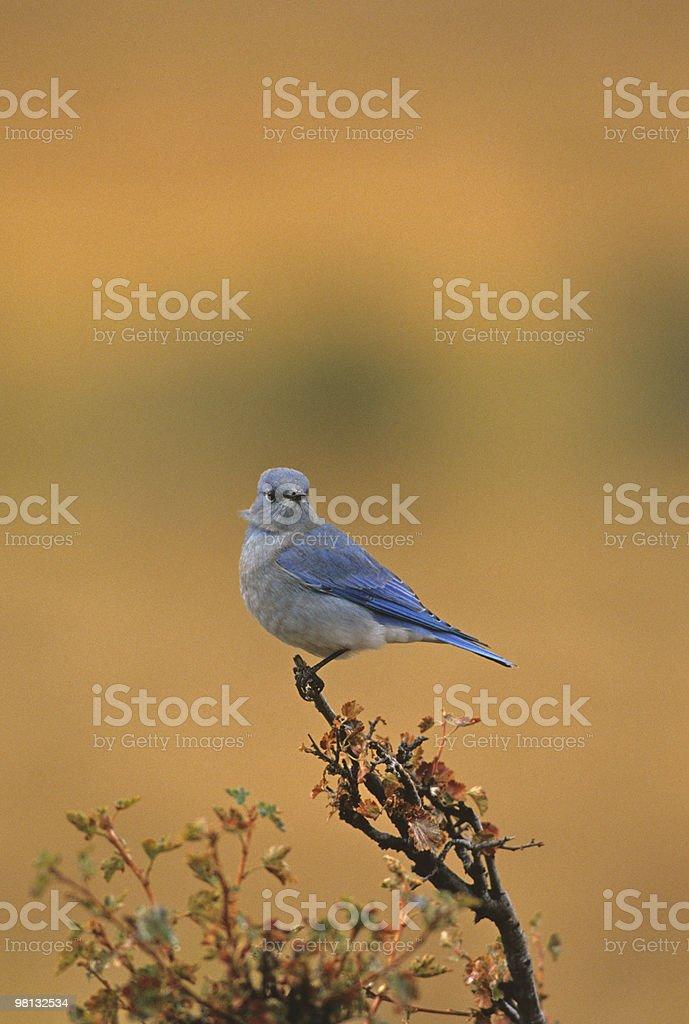 Male Mountain Bluebird royalty-free stock photo