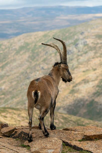 Male mountain goat in sierra de gredos mountain range avila picture id1186526614?b=1&k=6&m=1186526614&s=612x612&w=0&h= 2iaq8xivubmw3uu1m1em6hkde3lpy ebcusfm0h554=