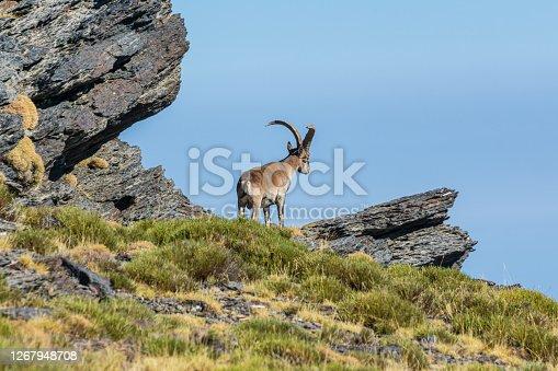 istock Male mountain goat 1267948708
