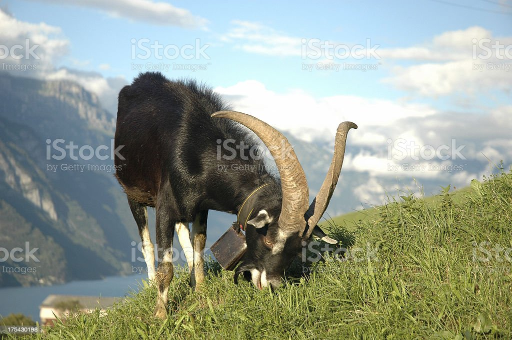 Male Mountain Goat Switzerland Swiss Suisse royalty-free stock photo