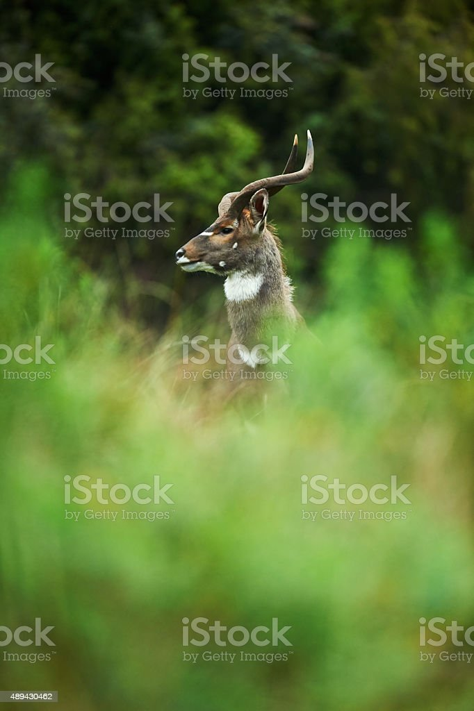 Male mountain nyala stock photo