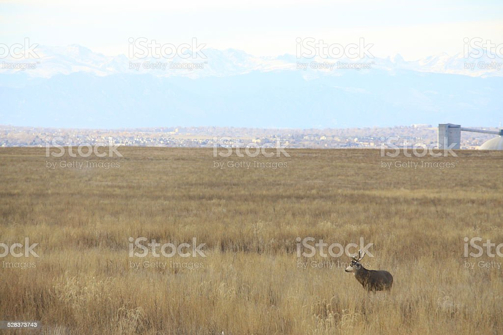 Male mule deer standing on a prairie stock photo