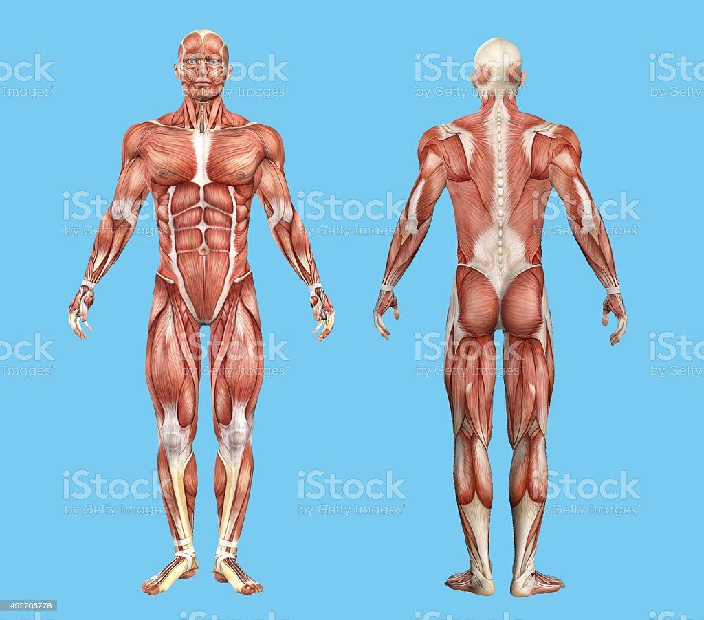 Fotografía de Músculos Hombre Anatomía y más banco de imágenes de ...