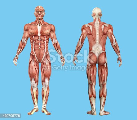 496193187istockphoto Male muscle anatomy. 492705778