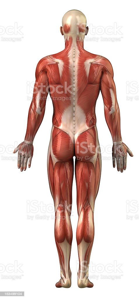 Male muscular system anatomy posterior view stock photo