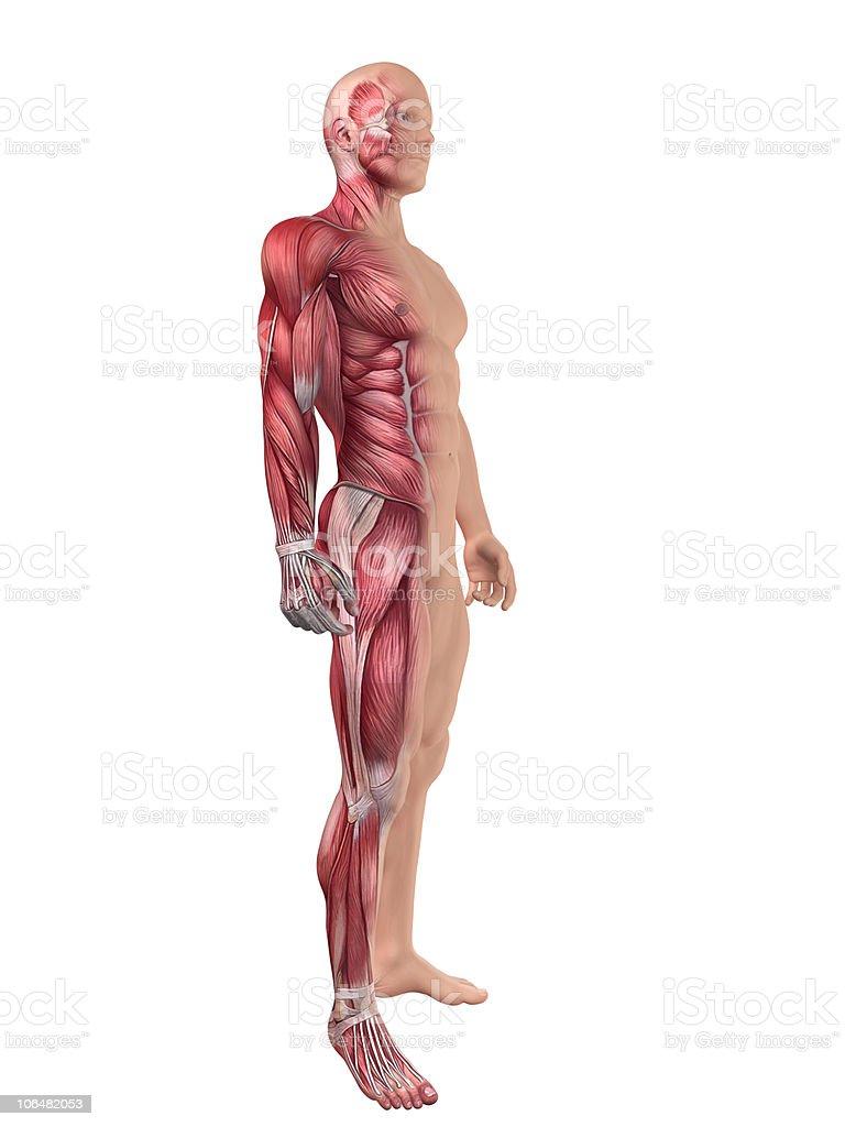 Fotografía de Hombre Sistema Muscular y más banco de imágenes de ...