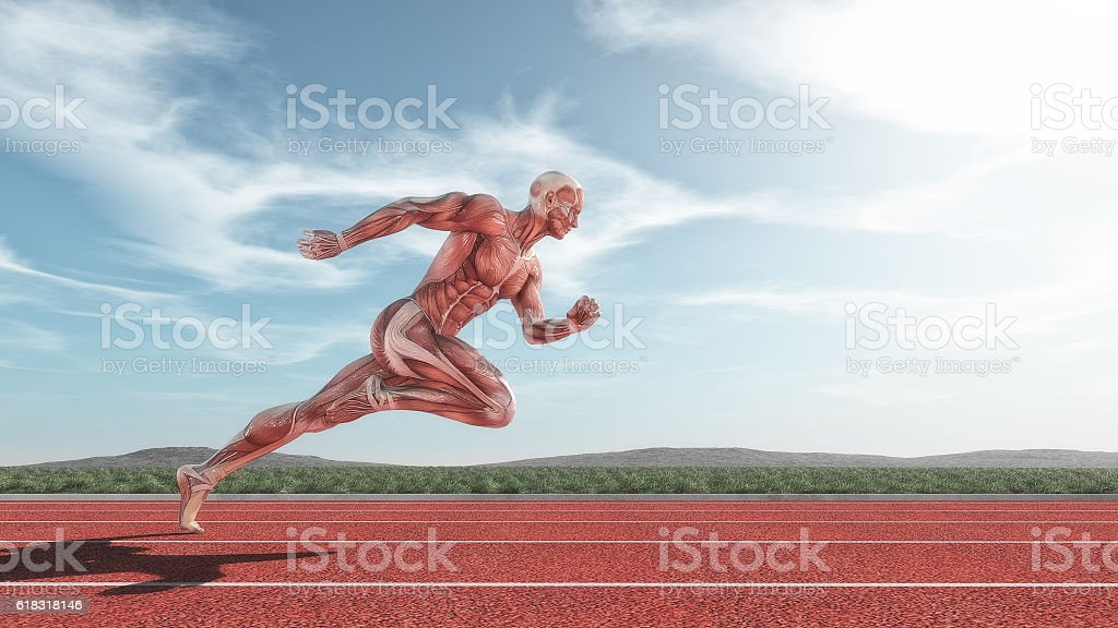 Male muscular system stock photo