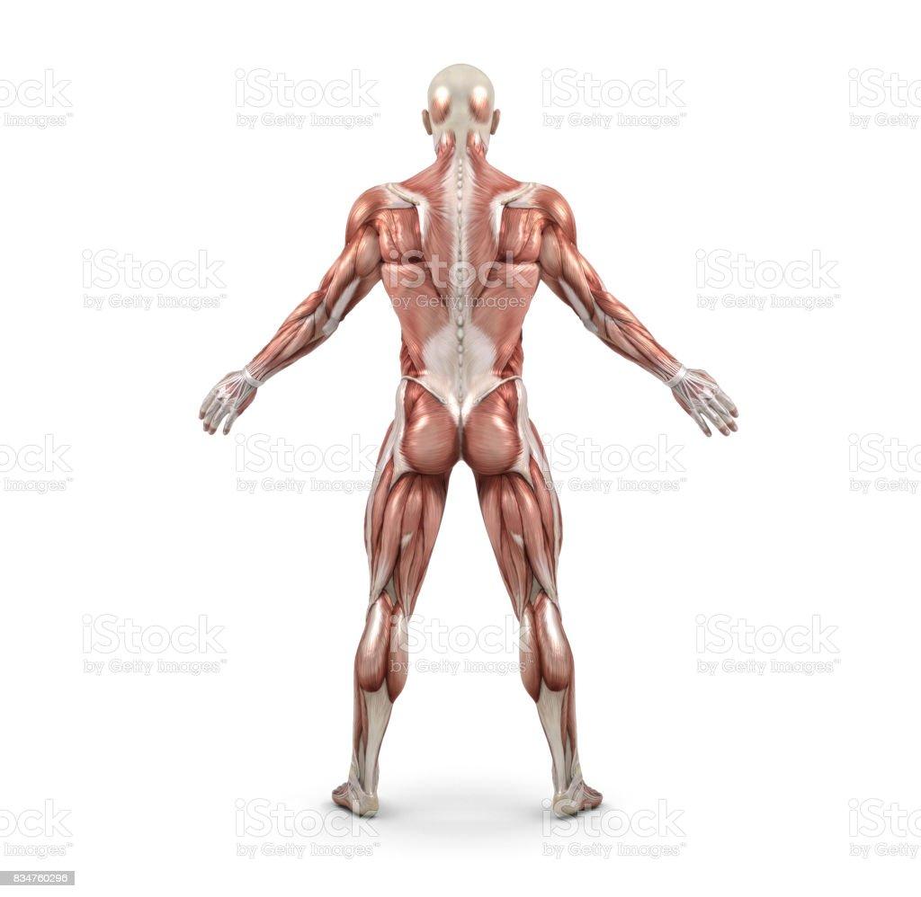 Fotografía de Sistema Muscular Masculino y más banco de imágenes de ...