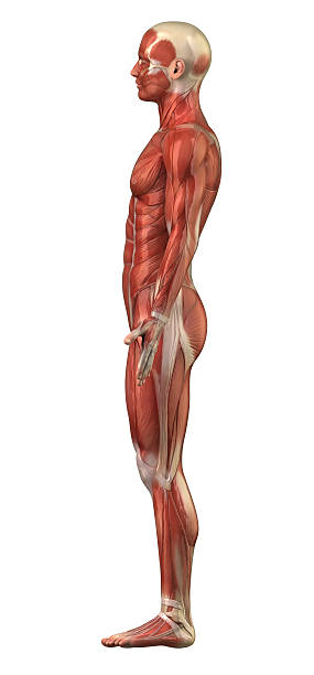 Male muscular system right lateral view isolated Human muscle anatomy lateral surface stock pictures, royalty-free photos & images
