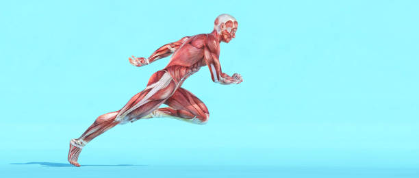 Male muscular system running. This is a 3d render illustration Male muscular system running. This is a 3d render illustration physiology stock pictures, royalty-free photos & images