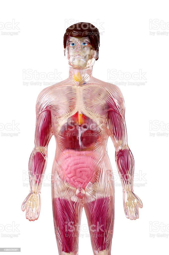 Sistema Musculoesquelético Masculino 4 - Stock Foto e Imagen de ...