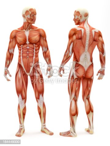 istock Male musculoskeletal system 154449330