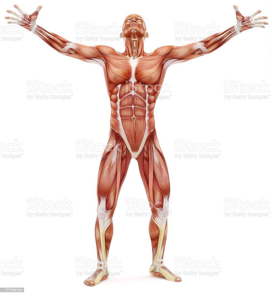 Fotografía de Sistema Musculoesquelético Masculino y más banco de ...