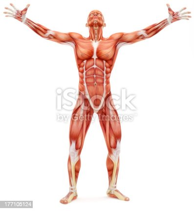 496193203istockphoto Male musculoskeletal system 177105124