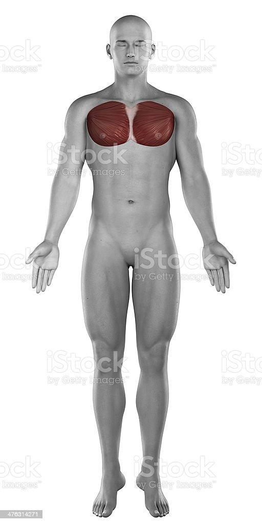 Männliche Anatomie Musle Brust Stock-Fotografie und mehr Bilder von ...