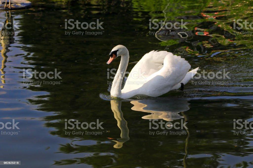 Male mute swan Cygnus olor aggression on Mitcham Pond - Foto stock royalty-free di Acqua