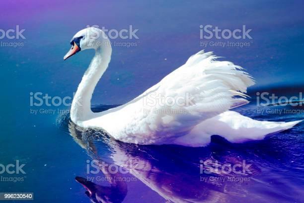 Male mute swan cygnus olor aggression on mitcham pond picture id996230540?b=1&k=6&m=996230540&s=612x612&h=yn88s91llwjwrbudkhglpym7ybbldvxeqehl6mqmogi=