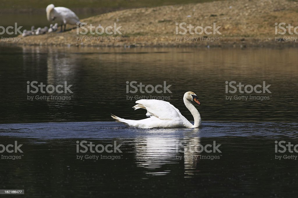 Family protection with male mute swan Cygnus olor on patrol royalty-free stock photo