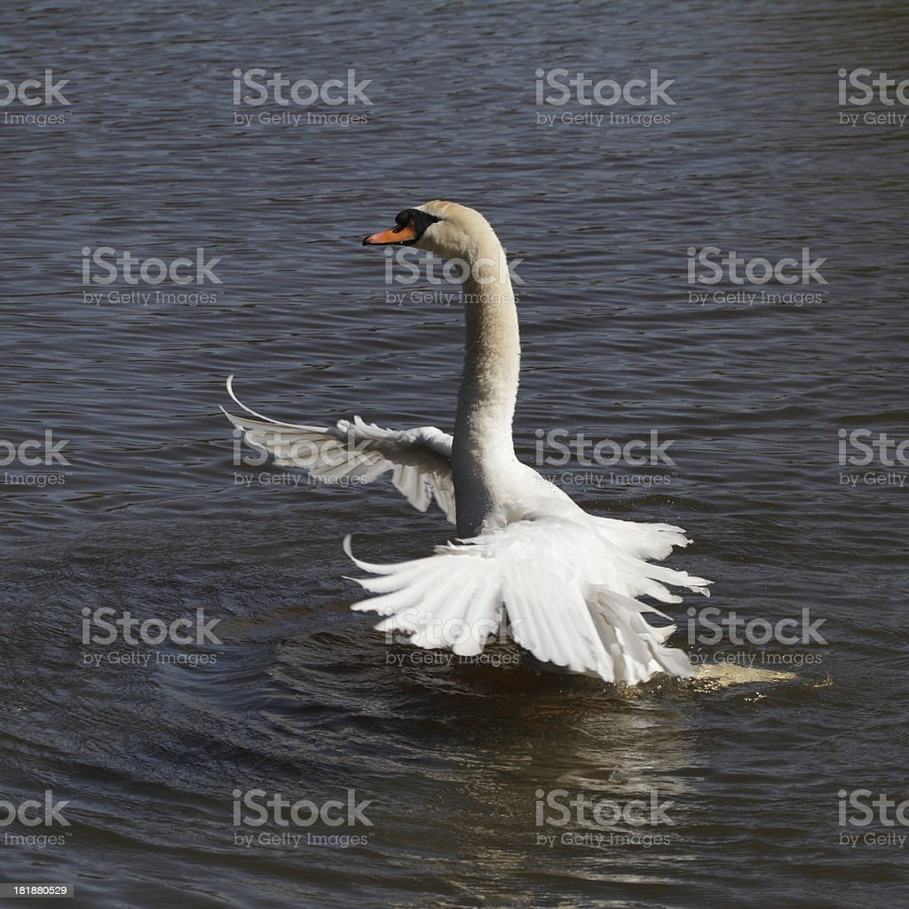 Mute swan settling wings after preening feathers stock photo