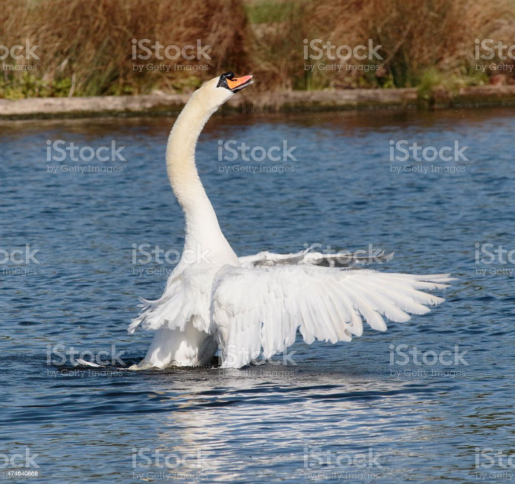 Triumphant mute swan settling wings after preening feathers stock photo