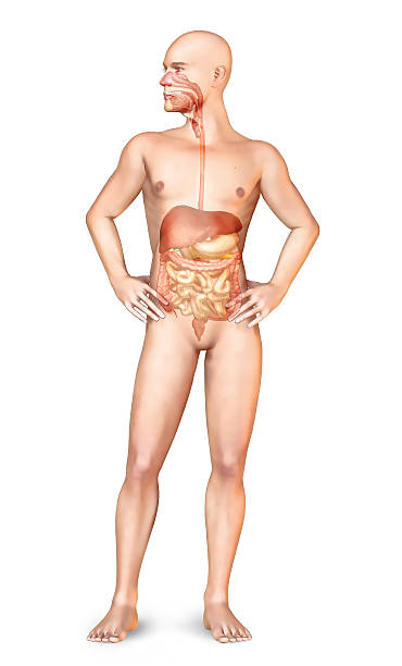 Male naked body standing, with full digestive system superimposed. stock photo