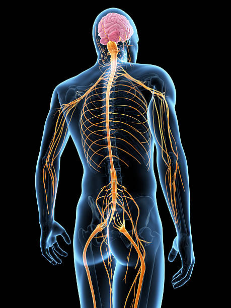 male nerves - human nervous system stock photos and pictures