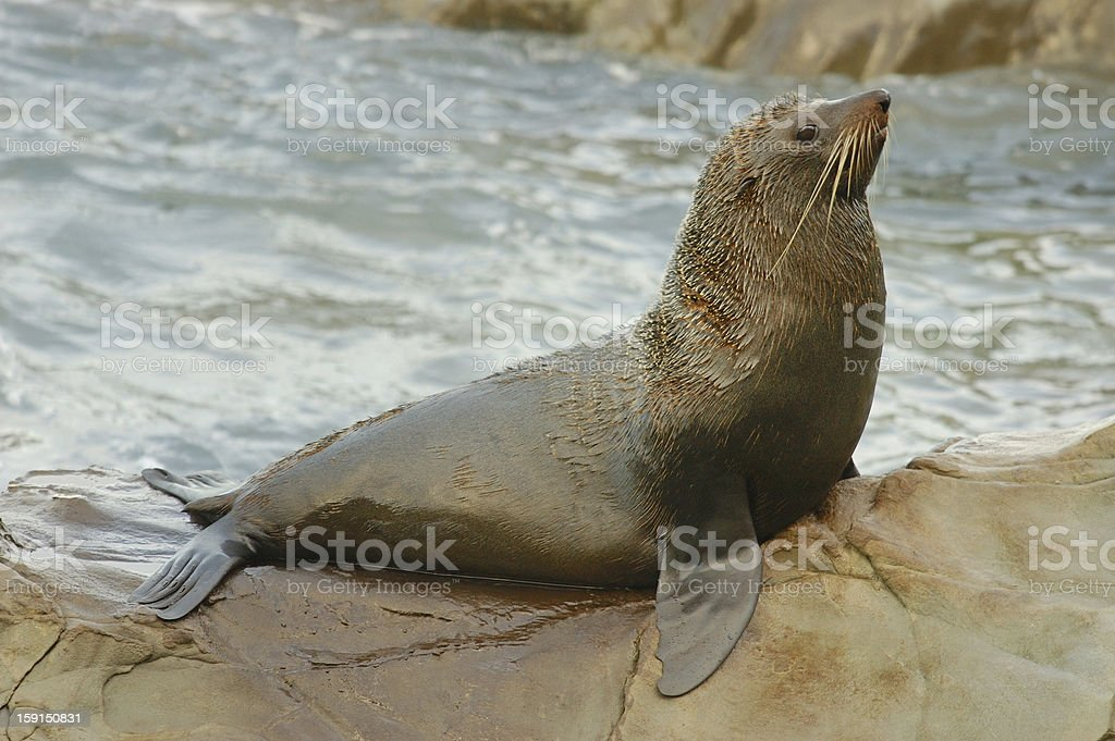 Male New Zealand Fur Seal (Arctocephalus forsteri) stock photo