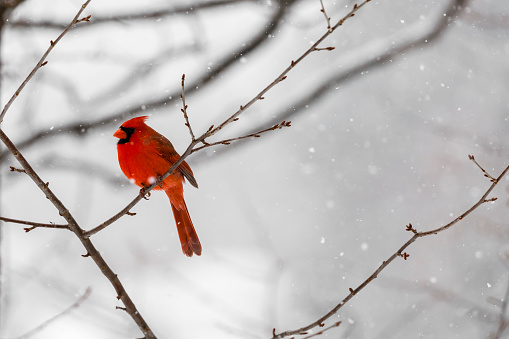 The vibrant red color of a male Northern Cardinal (Cardinalis cardinalis) sitting on the branch is highlighted  against a white snowy background.