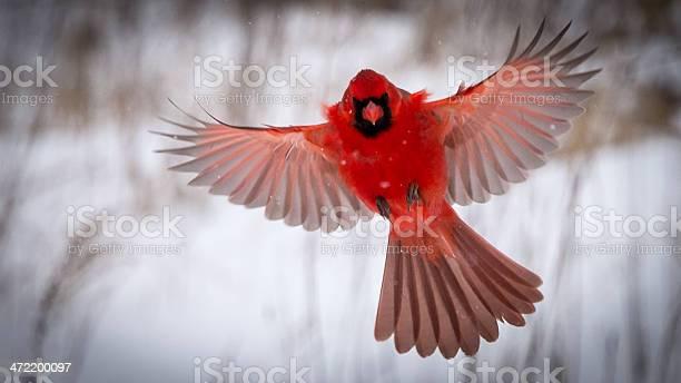 Male northern cardinal in flight picture id472200097?b=1&k=6&m=472200097&s=612x612&h=ky1enqsema0lrqusaepvmyzoeqjfgpmnuwudtfaosqu=