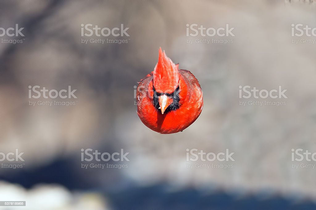 Male Northern Cardinal In Flight stock photo