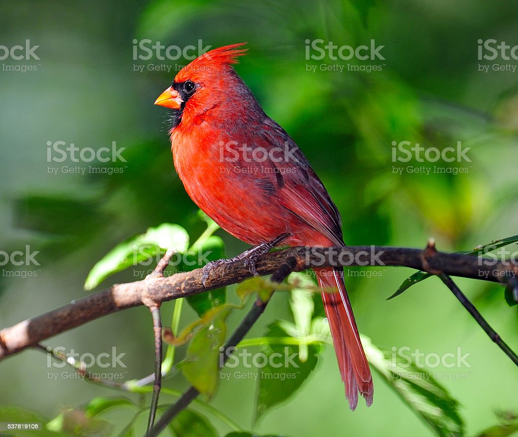Male Northern Cardinal in Tree stock photo