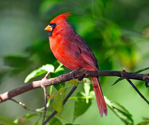 Male Northern Cardinal in Tree stock photo
