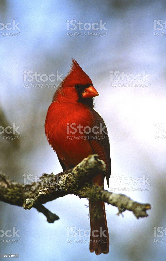 Male Northern Cardinal stock photo