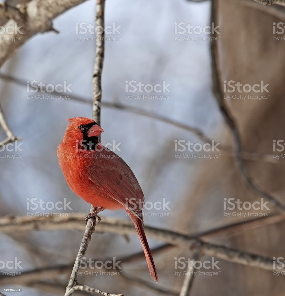Cardinale settentrionale maschio, Cardinalis foto stock royalty-free
