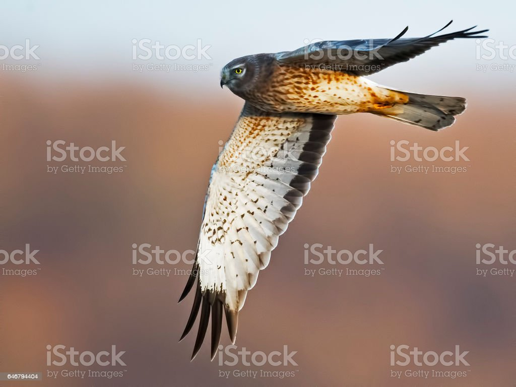 Male Northern Harrier Hawk in Flight stock photo