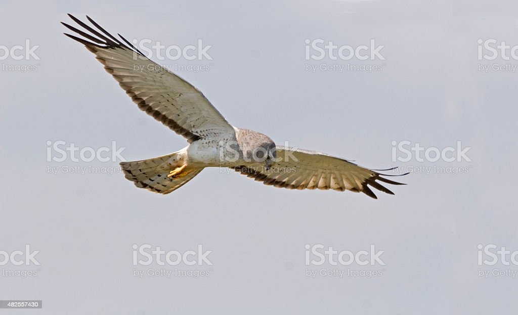 Male Northern Harrier in flight stock photo