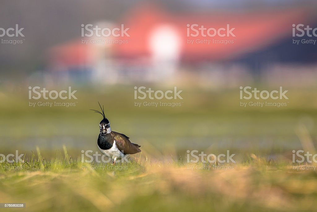 Male Northern lapwing in farmland stock photo