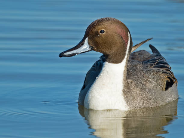 Male Northern Pintail Duck stock photo