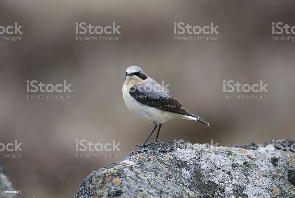 Male Northern Wheatear  (Oenanthe oenanth) on rock. royalty-free stock photo