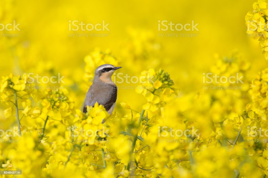 Male Northern Wheatear perched in flowering Oilseed rape crop stock photo