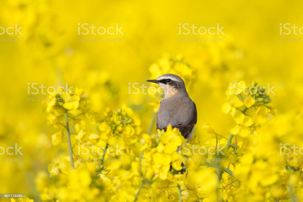 Male Northern Wheatear perched in flowering Rape Seed crop stock photo