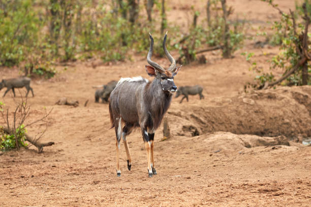 Male nyala walking in Kruger stock photo