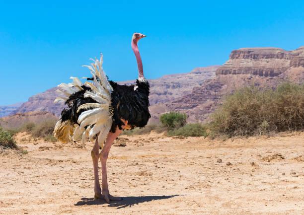 Hombre africano Struthio de avestruz (camelus) - foto de stock